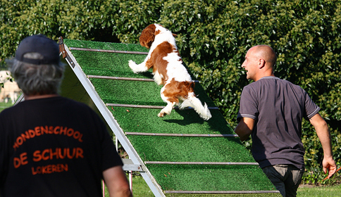 Cavalier Agility: Bengal's Jalapeno (Max)